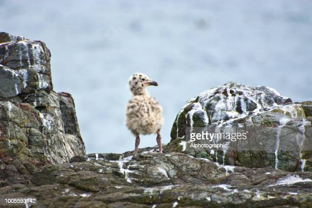 black-backed gull chick - seagull stock pictures, royalty-free photos & images