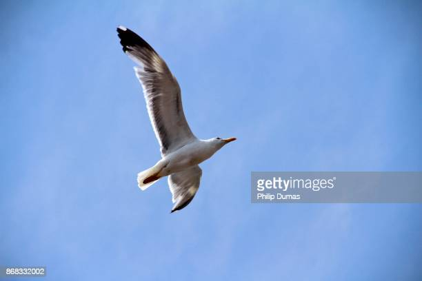 Black-backed gull in flight (Larus marinus)