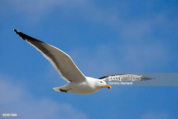 Black-backed gull (Larus marinus) soaring in the sky, Sea Point, Cape Town, Western Cape Province, South Africa