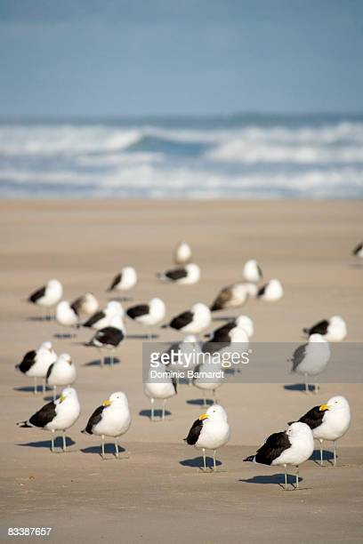 Black-backed gulls (Larus marinus) standing on the beach, Oyster Bay, Southern Cape, South Africa