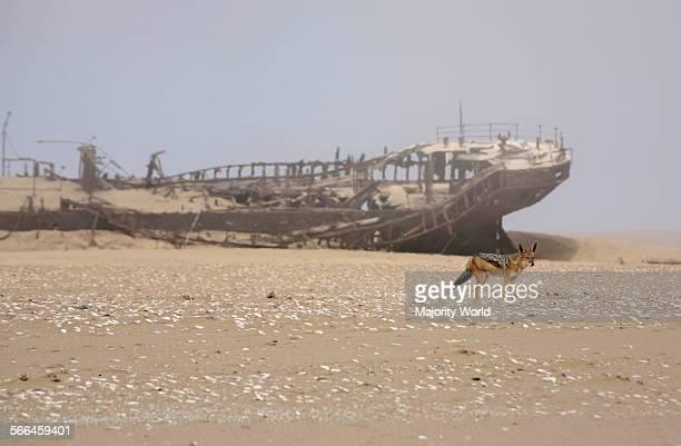 Black-backed jackal at Eduard Boleyn shipwreck in the Namib Desert, Namibia, March 25, 2010