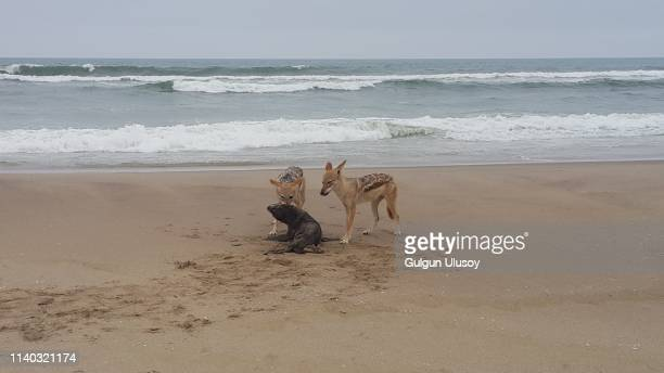 black-backed jackal attacking a baby sea lion - hunting stock pictures, royalty-free photos & images