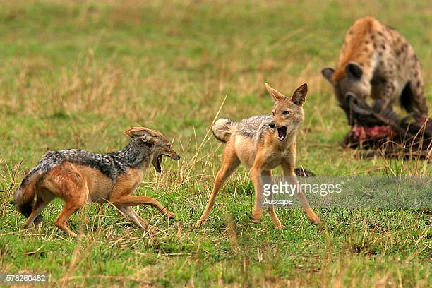 Blackbacked jackal Canis mesomelas confronting another Spotted hyena in the background Masai Mara National Reserve Kenya East Africa
