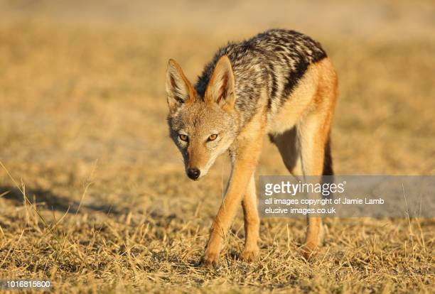 black-backed jackal full body - moremi wildlife reserve stock photos and pictures