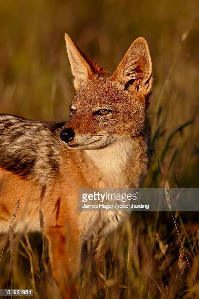 Black-backed jackal (silver-backed jackal) (Canis mesomelas), Mountain Zebra National Park, South Africa, Africa