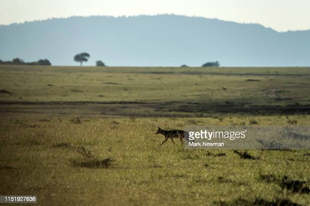 black-backed jackal - kenya newman stock pictures, royalty-free photos & images