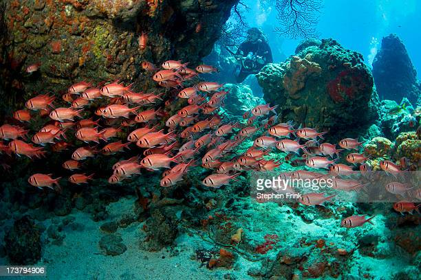 blackbar soldierfish (myripristis jacobus) - dominica stock pictures, royalty-free photos & images