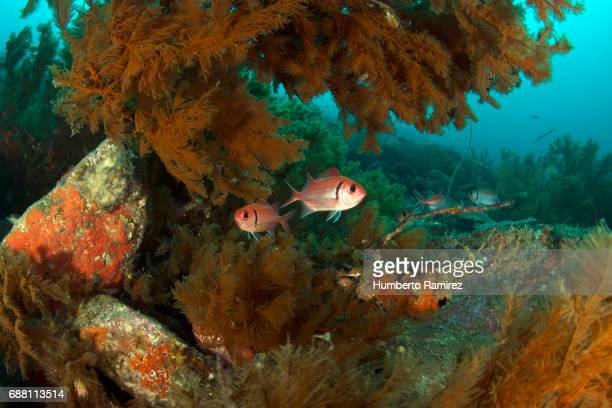 blackbar soldierfish. - squirrel fish 個照片及圖片檔