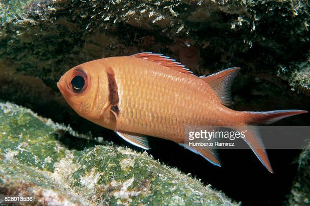 blackbar soldierfish. - squirrel fish stock photos and pictures