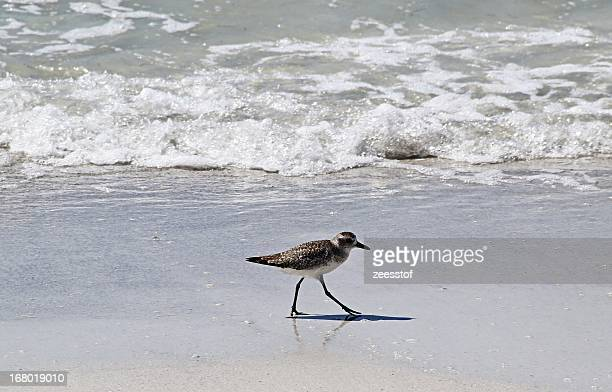 black-bellied plover - zeesstof stock pictures, royalty-free photos & images