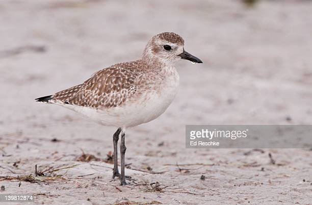 black-bellied plover with winter plumage, (pluvialis squatarola) nests on the arctic tundra and winters on sandy beaches, fields and marshes. siesta key, florida, usa - siesta key stock photos and pictures