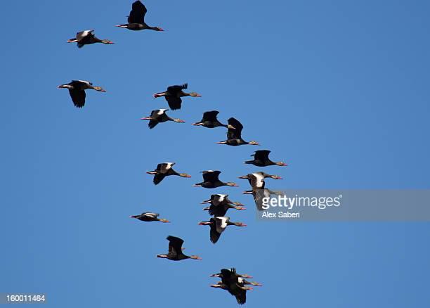 black-bellied whistling ducks fly over the pantanal. - alex saberi photos et images de collection