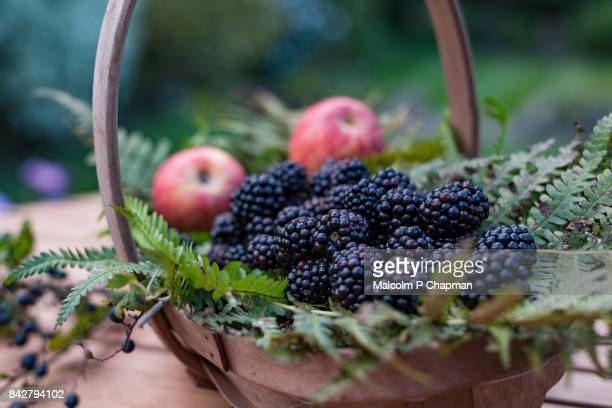 blackberries - blackberry fruit, rubus fruticocus - early autumn end of summer fruit - blackberry fruit stock pictures, royalty-free photos & images