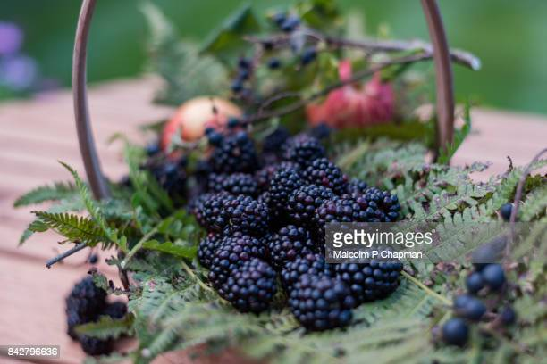 blackberries - blackberry fruit, rubus fruticocus - early autumn end of summer fruit - ripe stock pictures, royalty-free photos & images