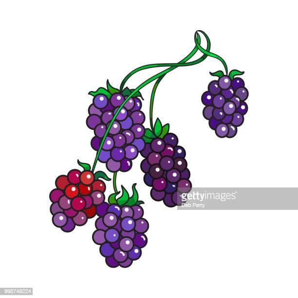 Blackberries or black raspberries on the stem illustration