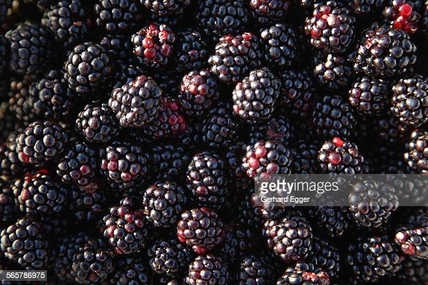 blackberries - gerhard egger stock pictures, royalty-free photos & images