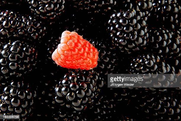 Blackberries (Rubus sectio Rubus) with a single Raspberry (Rubus idaeus)