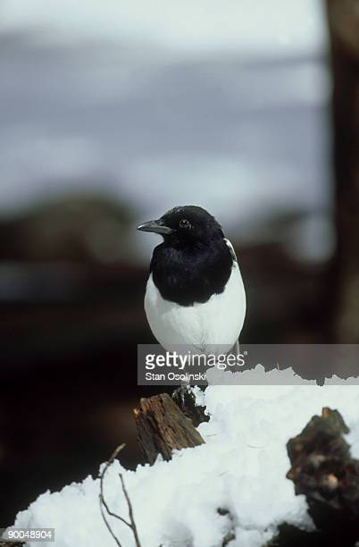 black-billed magpie, pica pica, foraging in snow, rocky mt np, usa