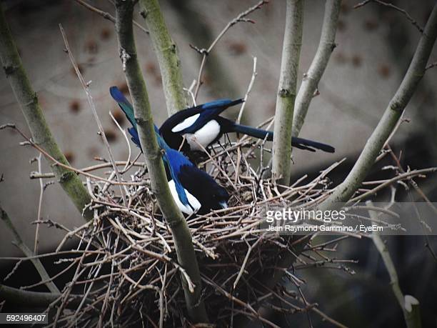 Black Billed Magpie Stock Pictures, Royalty-free Photos & Images ...