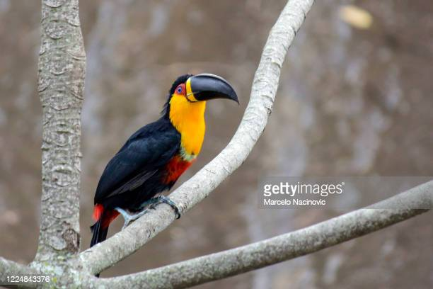 black-billed toucan - marcelo nacinovic stock pictures, royalty-free photos & images