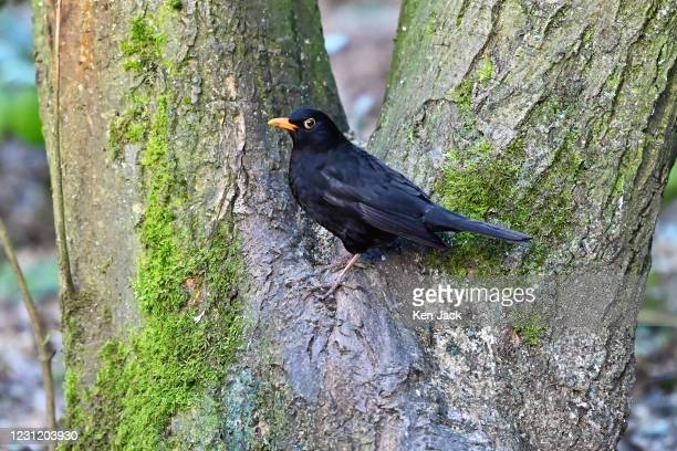 Blackbird at the RSPB's Loch Leven nature reserve, on February 16, 2021 in Kinross, Scotland.