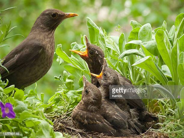 blackbird babies 13 days old and mother at the nest