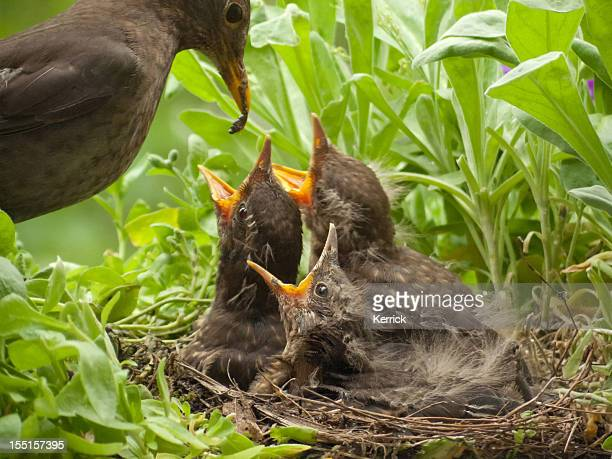 blackbird babies 13 days old and mother with worm