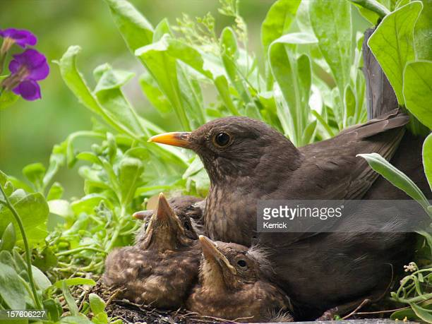 Blackbird babies and mother