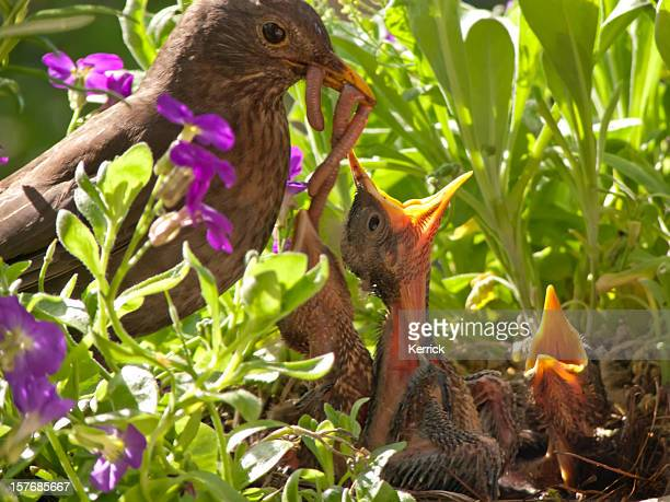 Blackbird babies and mother with huge dinner