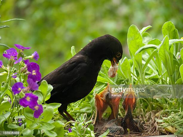 blackbird babies and weird worm from father - blackbird stock pictures, royalty-free photos & images