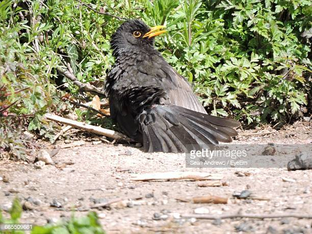 blackbird by plants on field - blackbird stock pictures, royalty-free photos & images
