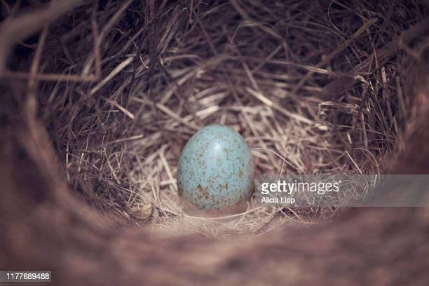 blackbird egg - birds nest stock pictures, royalty-free photos & images