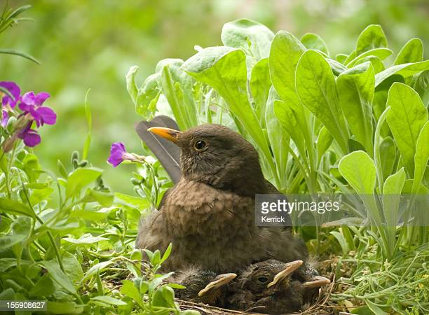 Blackbird family - female and 3 babies