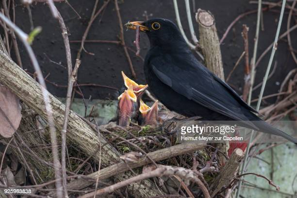 blackbird (turdus merula) feeding her young birds in nest, bavaria, germany - blackbird stock pictures, royalty-free photos & images