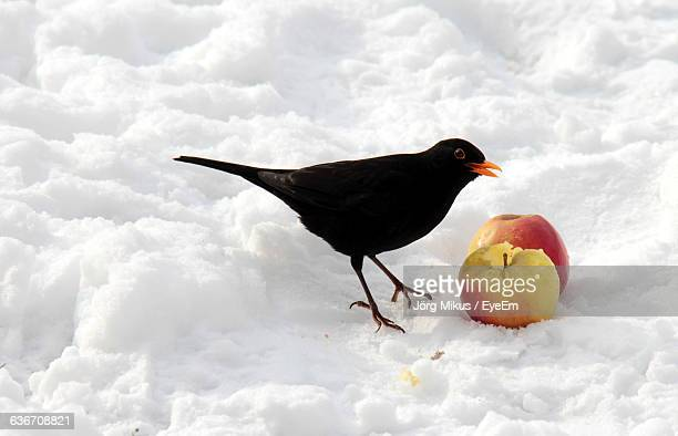 blackbird feeding on apples at snow covered field - merel stockfoto's en -beelden