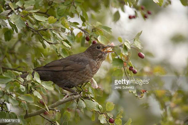blackbird (turdus merula), female, sitting in hawthorn bush, feeding on fruits - vista lateral stock pictures, royalty-free photos & images