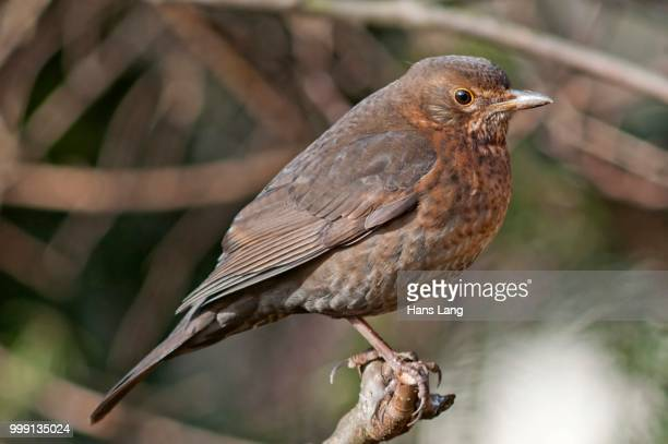 blackbird (turdus merula), female, untergroeningen, baden-wuerttemberg, germany - vista lateral stock pictures, royalty-free photos & images