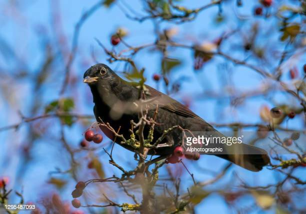 blackbird in a hawthorn bush in winter - general view stock pictures, royalty-free photos & images