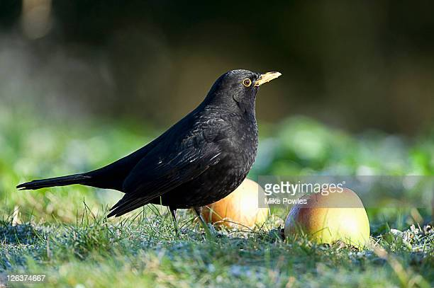 blackbird (turdus merula) in orchard in norfolk, uk - merel stockfoto's en -beelden