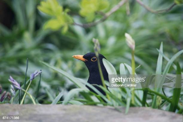 Blackbird in the Flower Bed