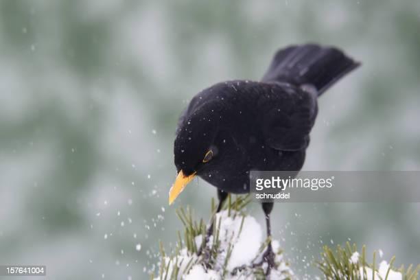 Blackbird in wintertime