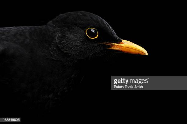 blackbird on a black background - merel stockfoto's en -beelden