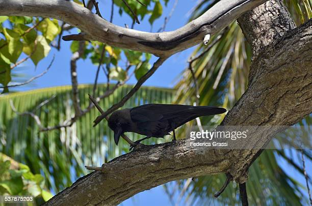 Blackbird on a Branch of Tropical Tree