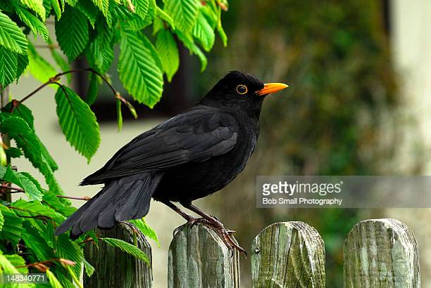 blackbird on fence - merel stockfoto's en -beelden