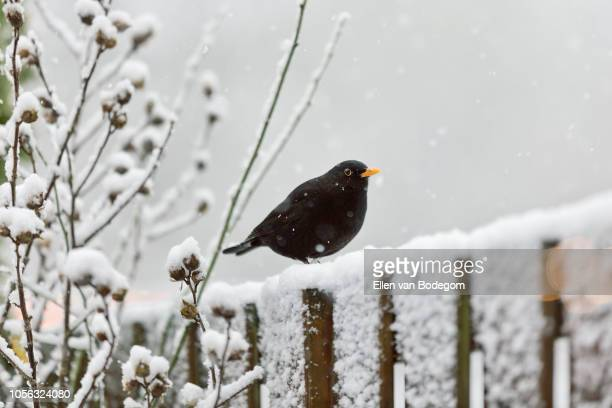 blackbird on garden fence in the snow - merel stockfoto's en -beelden