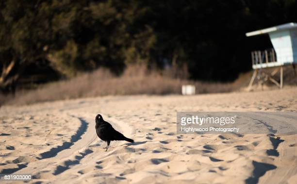 blackbird on the beach - highlywood stock photos and pictures