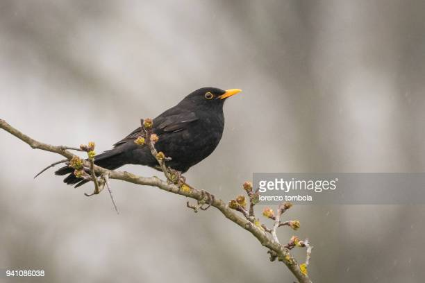 blackbird perched on a blossoming tree - merel stockfoto's en -beelden