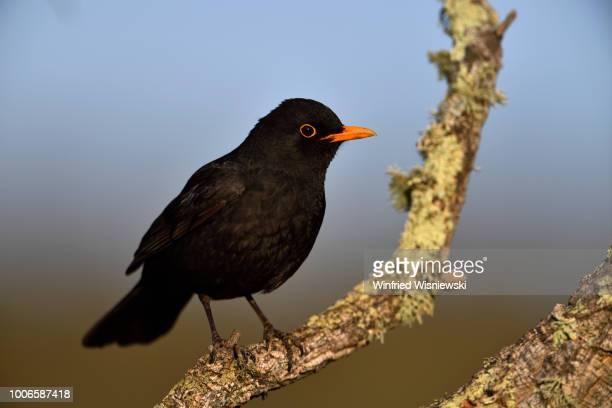 Blackbird (Turdus merula)
