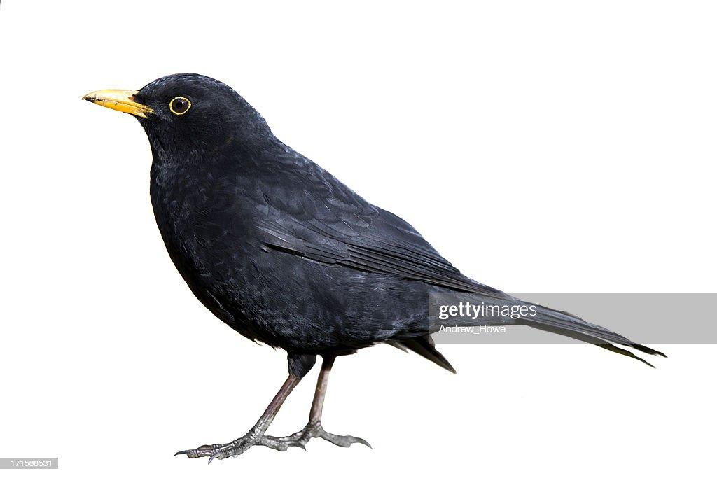 Blackbird (Turdus merula) : Stock-Foto