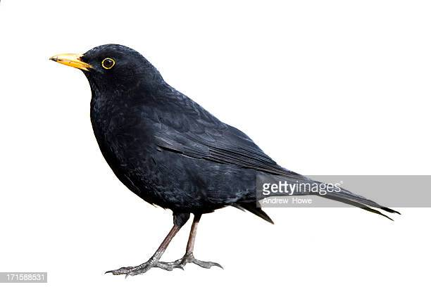 blackbird (turdus merula) - bird stock photos and pictures